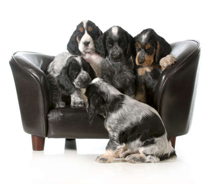 litter of puppies sitting on a couch - english cocker spaniel puppies - 7 weeks old photo
