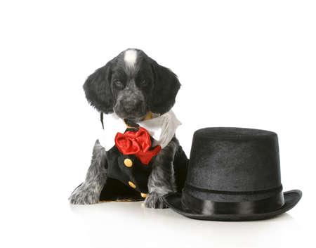 top 7: cachorro lujo - cocker spaniel Ingl�s tuxedo lleva sentado al lado de sombrero de copa sobre fondo blanco - 7 semanas de edad