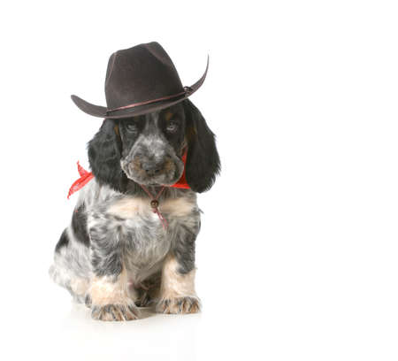 english cocker spaniel: country dog - english cocker spaniel puppy wearing western hat isolated on white background - 7 weeks old Stock Photo