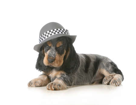 english cocker spaniel: cute puppy - english cocker spaniel puppy wearing hat isolated on white background - 7 weeks old