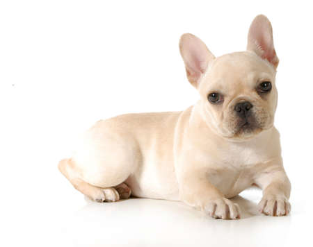 frenchie: french bulldog puppy laying down looking at viewer isolated on white background - 13 weeks old