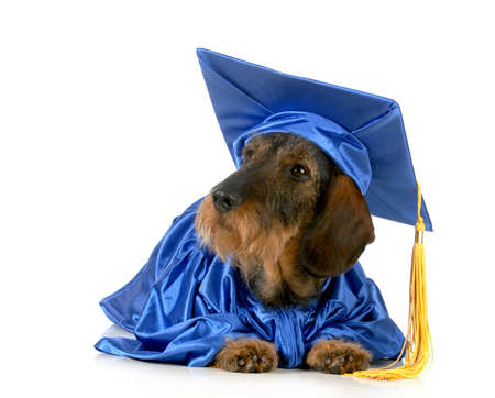 eminent: dog graduate - dachshund in graduation gown