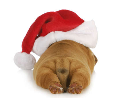 christmas costume: santa puppy - dogue de bordeaux puppy wearing santa hat - 4 weeks old Stock Photo