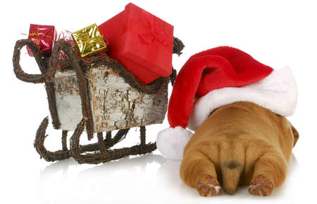 sled dog: christmas puppy - dogue de bordeaux puppy wearing santa hat laying beside sleigh full of presents  isolated on white background