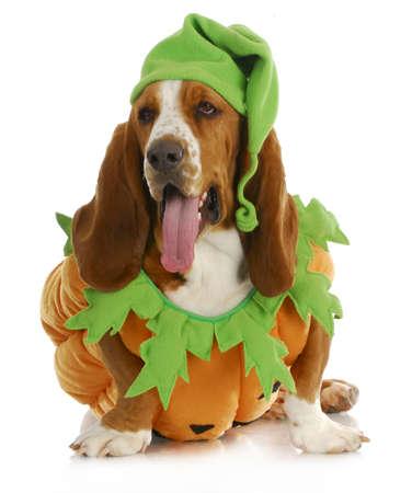 ハロウィン犬 - ホワイト バック グラウンド上に分離されてぶら下がって舌とバセットハウンド カボチャ