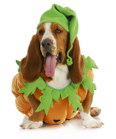 hounds: halloween dog - basset hound pumpkin with tongue hanging out isolated on white background Stock Photo