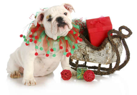 christmas puppy - english bulldog puppy sitting beside sleigh full of presents isolated on white background photo