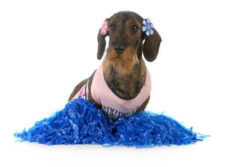 hond verkleed als cheerleader - ruwharige teckel vrouwelijke geïsoleerd op witte achtergrond