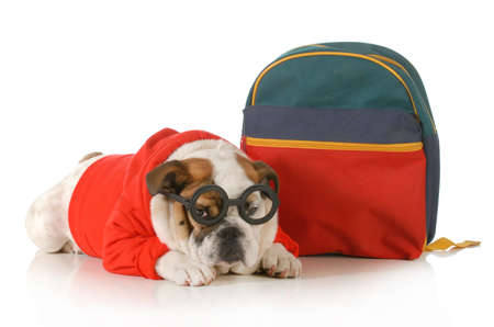 dog obedience training - english bulldog wearing glasses and sweater laying down beside backpack