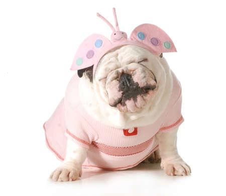 かわいい子犬 - 白い背景で隔離かわいい衣装を着て英語ブルドッグ女性