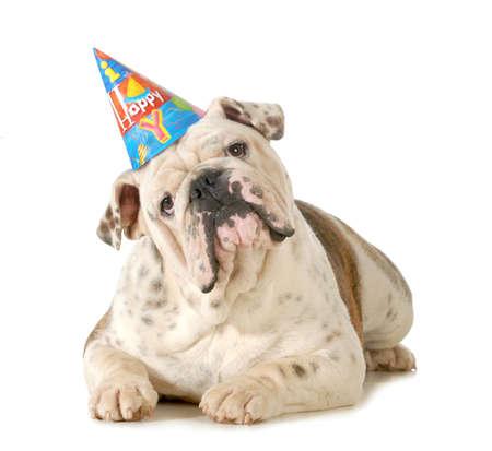 白い背景に分離された誕生日犬 - 英語ブルドッグの誕生日の帽子を身に着けて