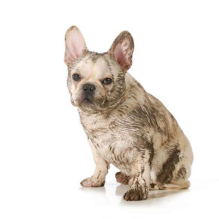 汚い犬 - フレンチ ブルドッグで覆われている泥の座っている白い背景で隔離のビューアーを見て