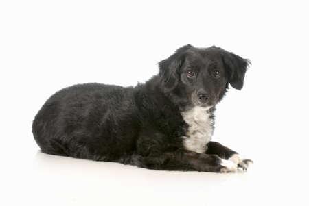 混合された品種犬の白い背景で隔離観察者へ見て敷設 写真素材