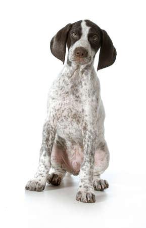 이전 11주 - 흰색 배경에 뷰어를 찾고 앉아 독일어 되 포인터 강아지 스톡 콘텐츠
