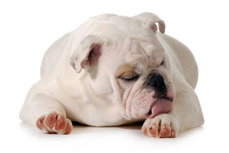 犬舐め足が白で隔離英語ブルドッグのグルーミング