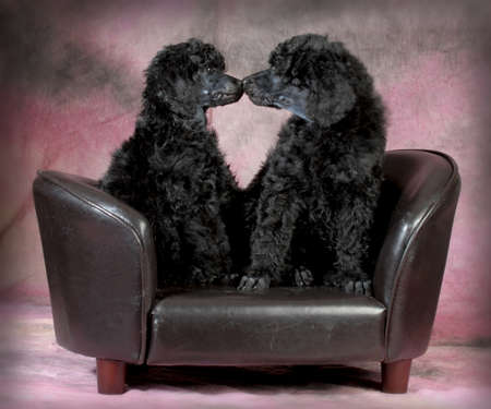 puppy love - two standard poodle puppies kissing on the couch - 8 weeks old Stok Fotoğraf