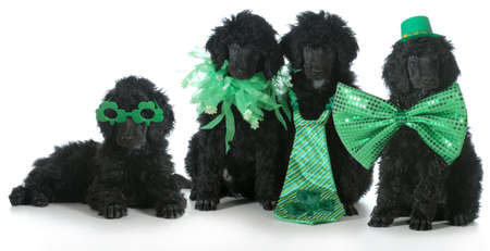 four standard poodle puppies wearing St Patricks Day costumes - 8 weeks old Archivio Fotografico