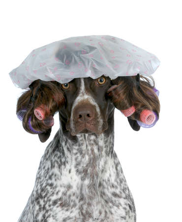 dog grooming - german shorthaired pointer wearing wig with curlers and shower cap isolated on white background