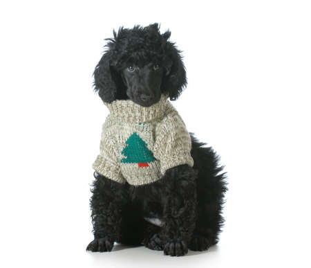 standard poodle puppy wearing silly christmas sweater isolated on white background