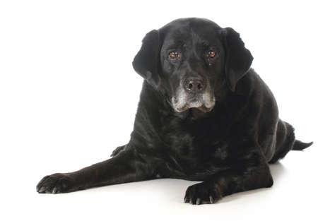シニア犬 - 黒ラブラドル ・ レトリーバー犬白い背景上に分離されて観察者へ見ている下に敷設 写真素材