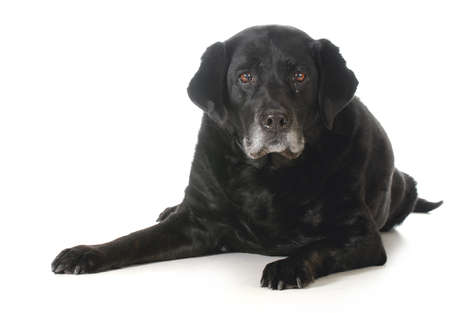 senior dog - black labrador retriever laying down looking at viewer isolated on white background Stockfoto