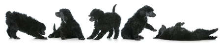 five standard poodle puppies playing isolated on white background