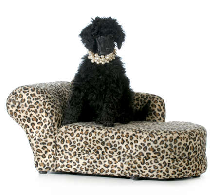 female poodle puppy sitting on a dog couch isolated on white background