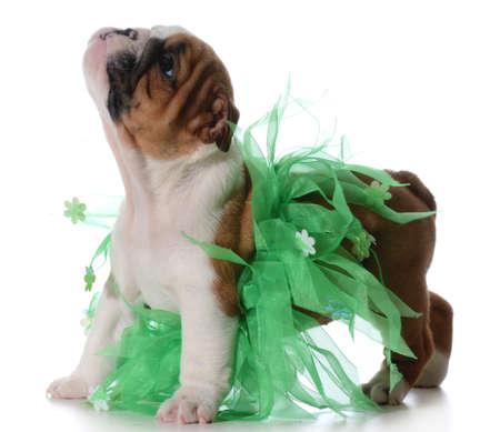 cute female puppy - english bulldog puppy wearing green tutu isolated on white