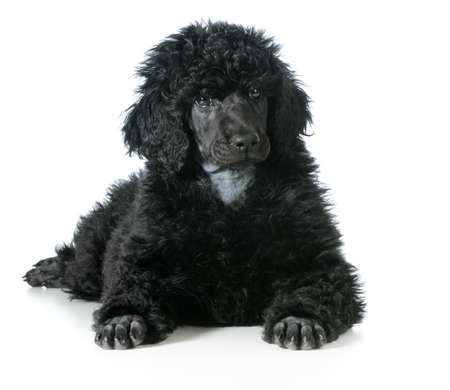 standard poodle puppy laying down isolated on white background