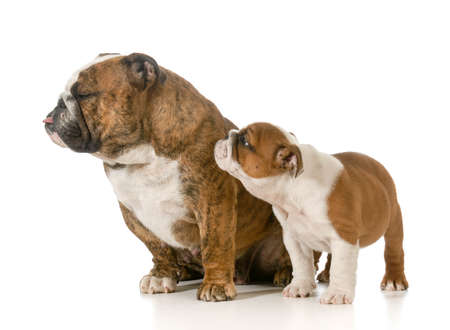 mother and her puppy - english bulldogs