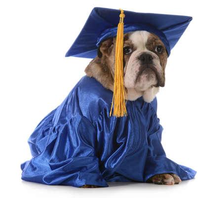 白い背景の上孤立した子犬学校 - 卒業帽とガウンを着て英語ブルドッグ