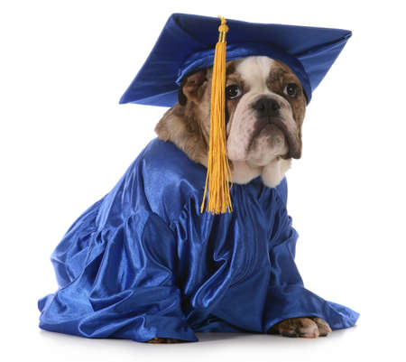 puppy school - english bulldog wearing graduation hat and gown isolated on white background Foto de archivo