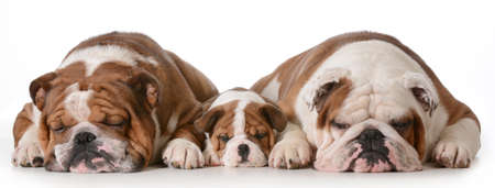 father son and grandson dogs - english bulldogs with three generations laying down side by side isolated on white background - father two years, son 10 weeks, grandfather 4 years 版權商用圖片