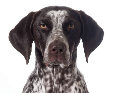 german shorthaired pointer portrait isolated on white - female Imagens - 26231477
