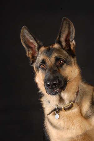保護犬の歯をむき出して黒い背景にドイツ シェパード犬