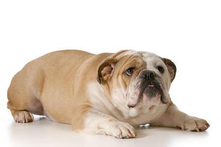 scared or nervous english bulldog isolated on white background