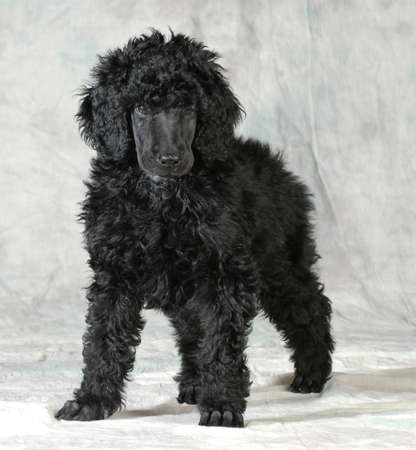 standard poodle puppy standing on green background - 8 weeks old Stok Fotoğraf