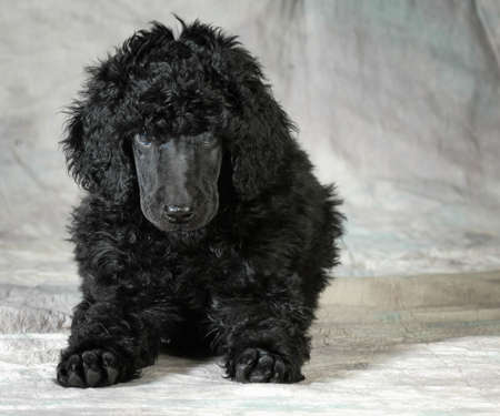 standard poodle puppy laying down looking at viewer - 8 weeks old