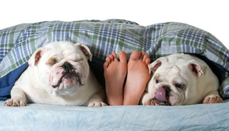 two english bulldogs in bed with their owner