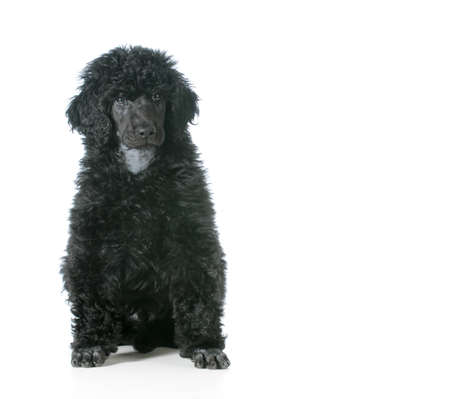 standard poodle puppy sittiting looking at viewer isolated on white  Stok Fotoğraf
