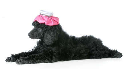 sick dog - standard poodle puppy with hot water bottle one head isolated on white