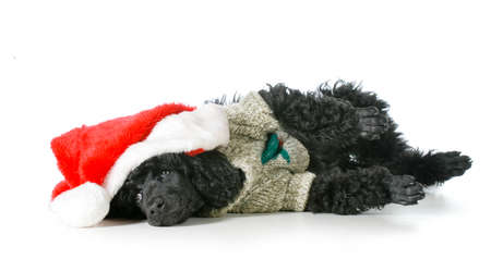 christmas puppy - standard poodle wearing santa hat and sweater laying down isolated on white