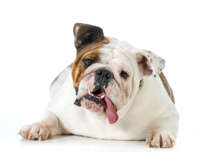 cute dog - english bulldog with silly expression looking at viewer isolated on white  写真素材