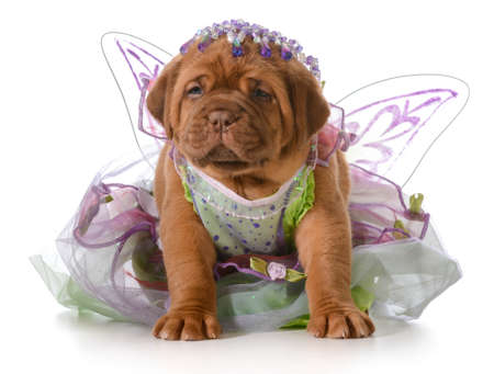female puppy - dogue de bordeaux puppy wearing princess dress isolated on white - 5 weeks old Stock Photo