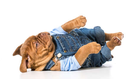 male puppy - dogue de bordeaux wearing cute overalls isolated on white  Stock Photo