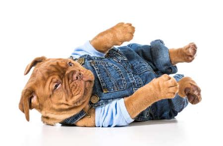 male puppy - dogue de bordeaux wearing cute overalls isolated on white  Foto de archivo
