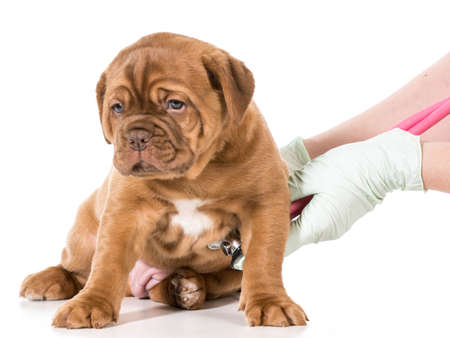 veterinary care - dogue de bordeaux being examined by veterinarian isolated on white  Stok Fotoğraf