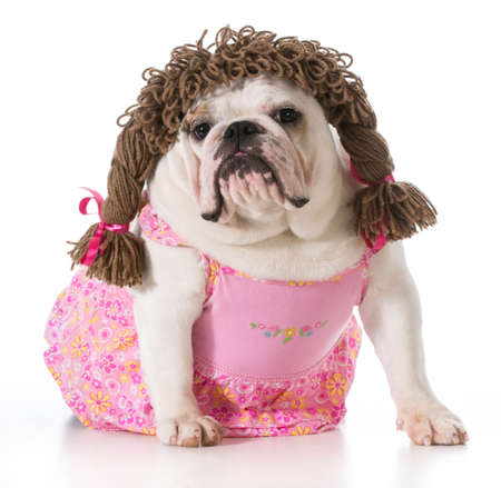 female dog - english bulldog wearing pink dress and pigtail wig isolated on white