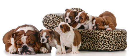 dog family - english bulldog father and five puppies isolated on white background Stock Photo