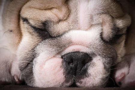 english bulldog puppy sleeping - 8 weeks old